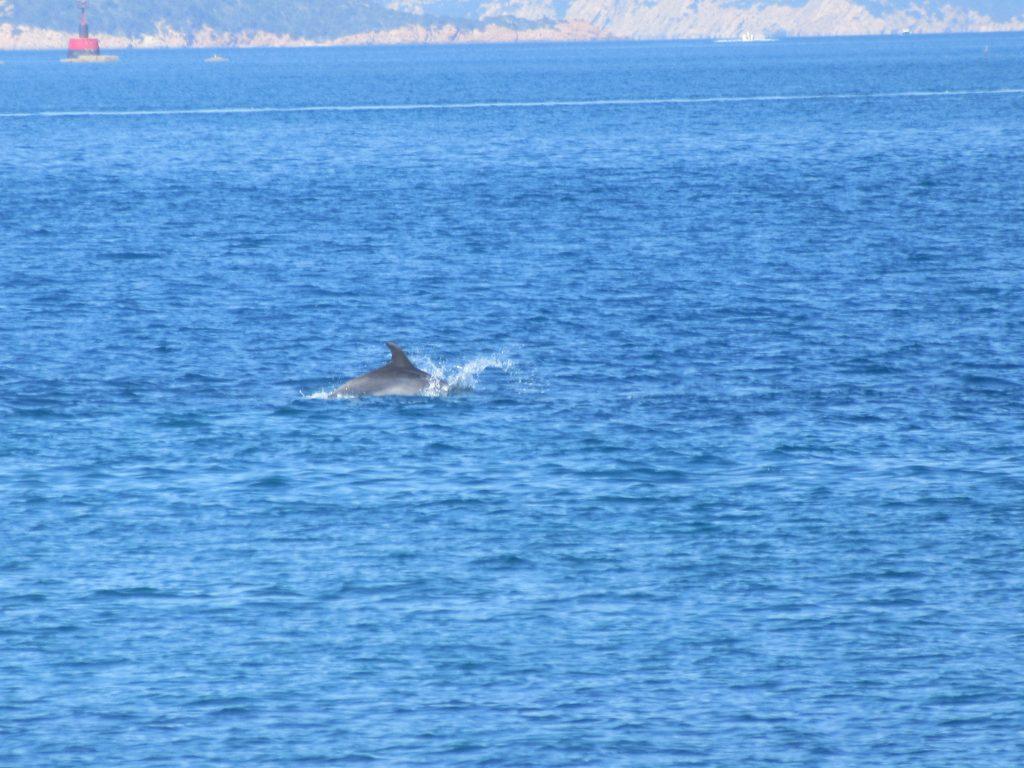 dauphin à Maddalena