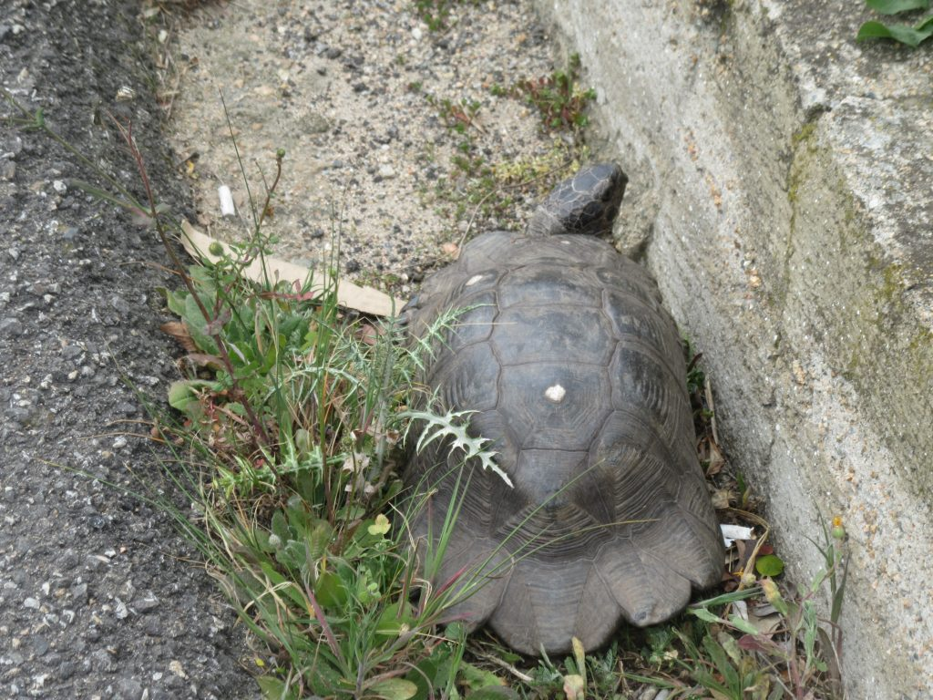 tortue en Sardaigne
