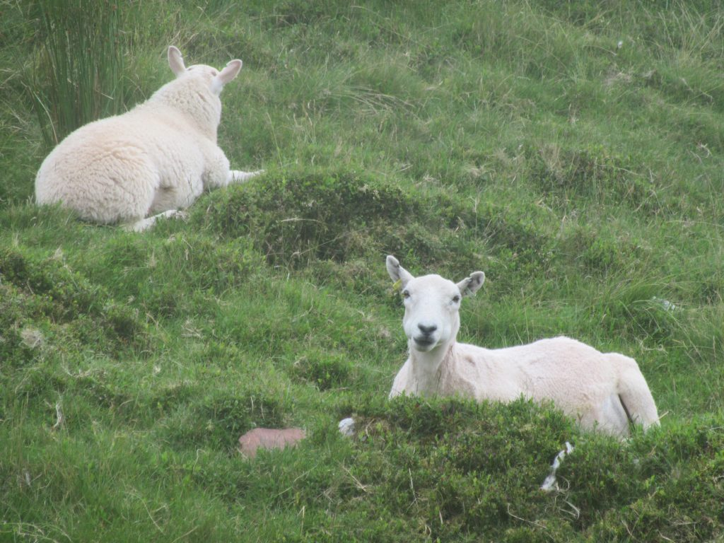 moutons Beacon brecons Pays de Galles