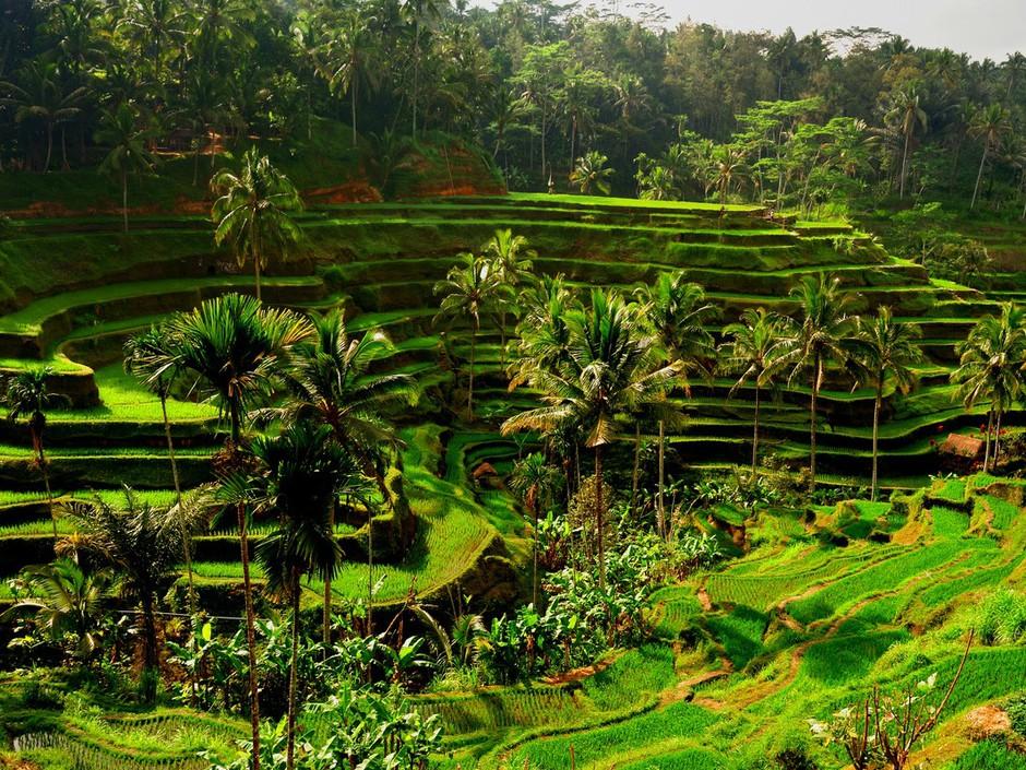 rizières en terrasses Bali