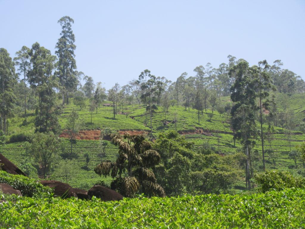 Plantations de thé au Sri Lanka