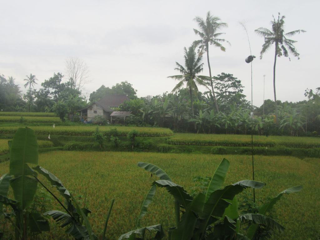 Paysages de rizières Ubud Bali