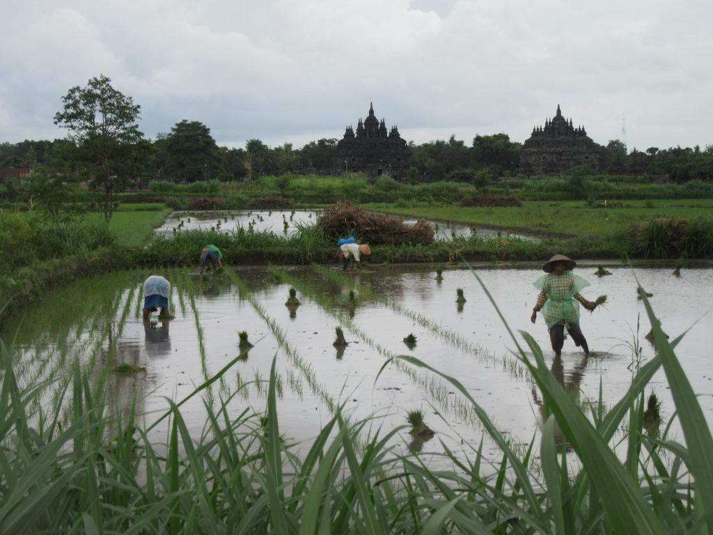 Rizières sur l'île de Java