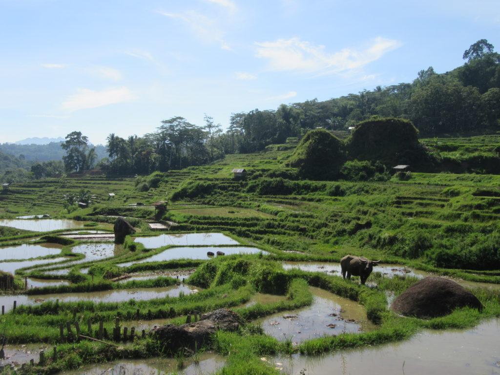 Rizières Pays Toraja Sulawesi