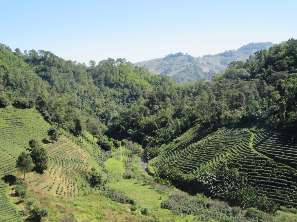 Plantations de thé à Doi Mae Salong