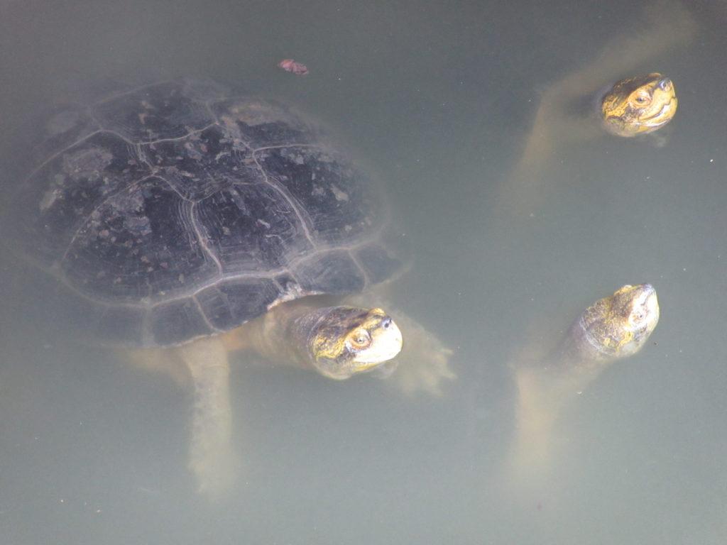 Tortue Lumphini parc bangkok