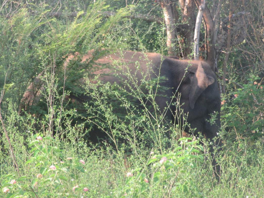Safari uda walawe Sri Lanka elephant