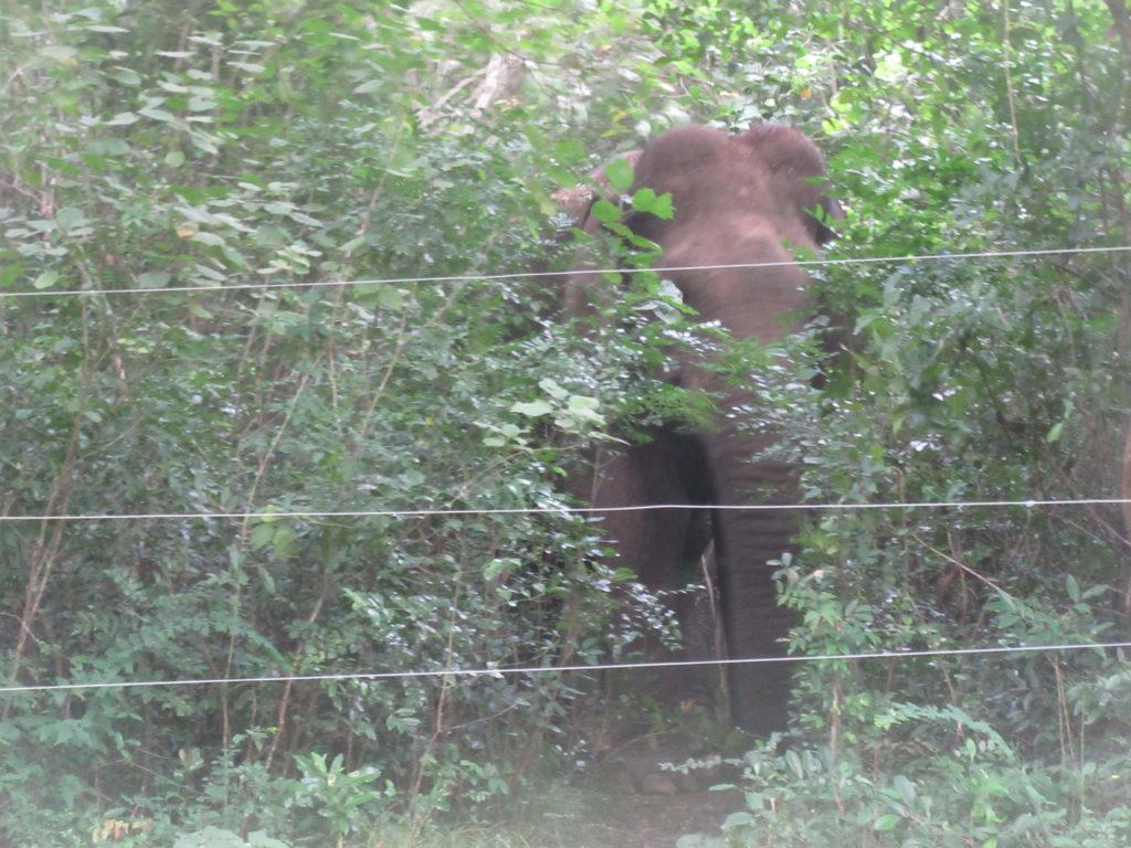 Elephant près de Sigiriya au Sri Lanka