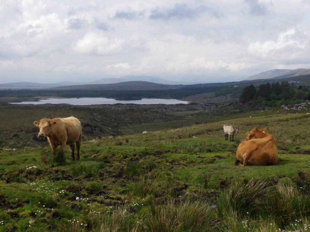 Des collines, un lac et des animaux : un petit condensé du Connemara