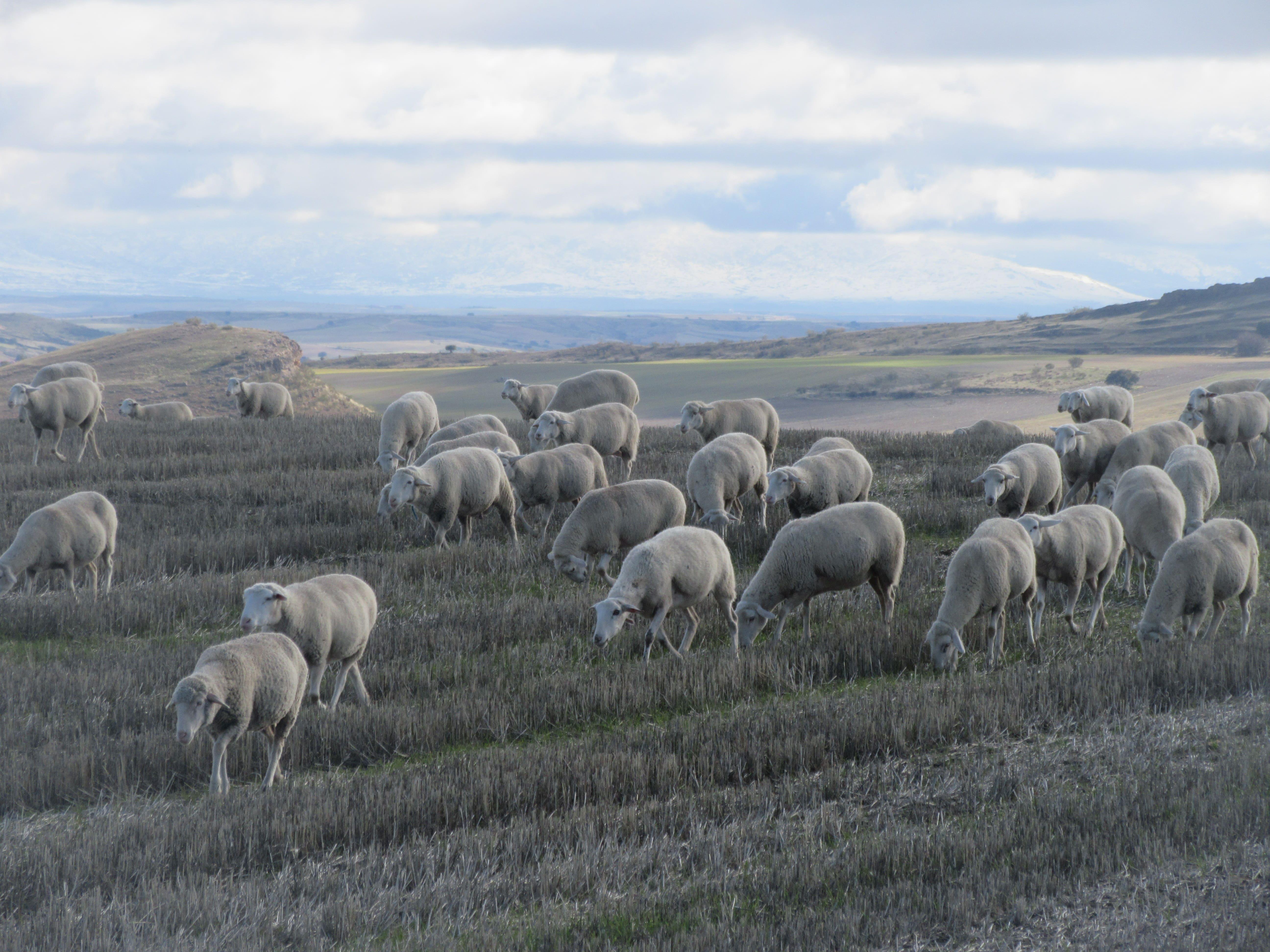 mouton en espagne
