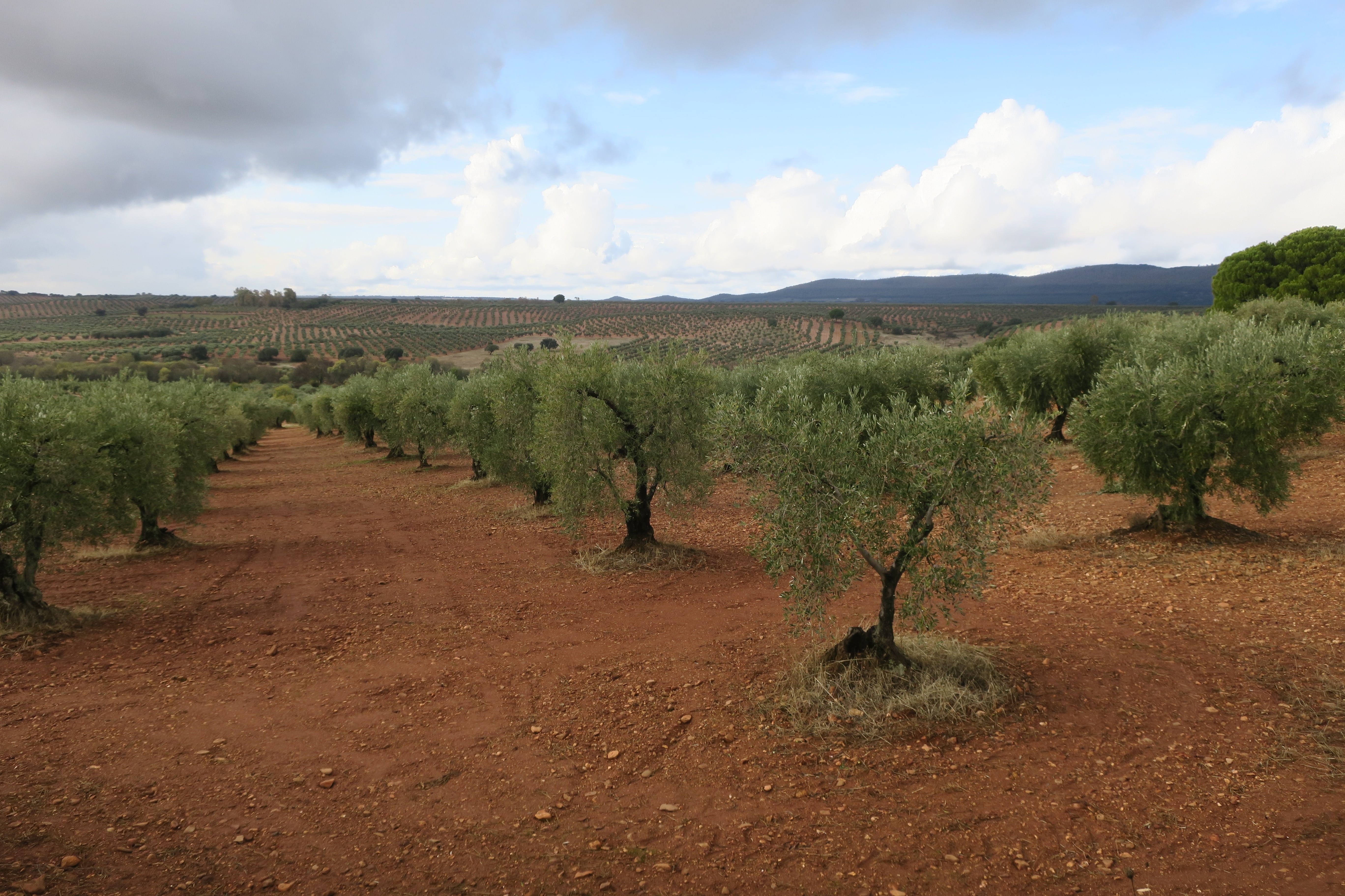 champs d'oliviers en Espagne